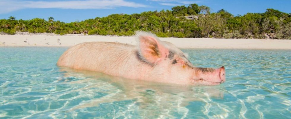 Swimming With Pigs In The Bahamas - Caribbean & Co