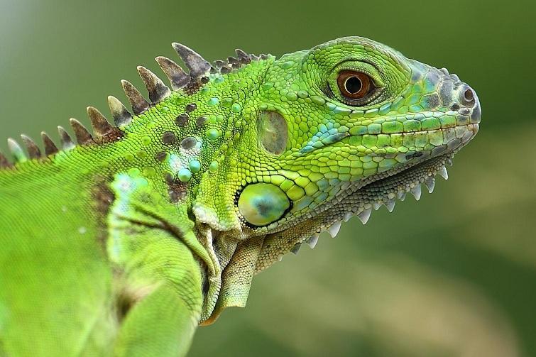Bequia: Iguana