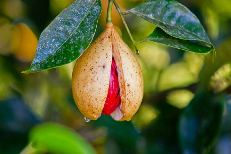 Grenada: Nutmeg on tree
