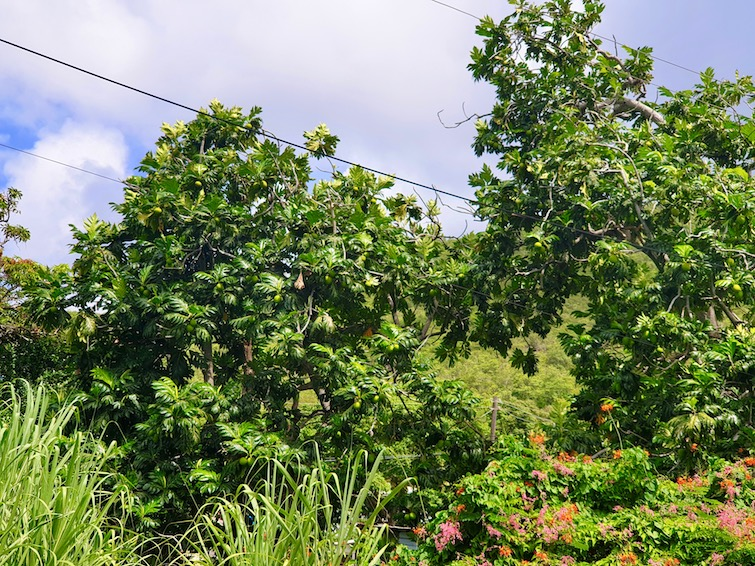 Breadfruit trees in Bequia, SVG.