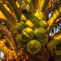 Caribbean Food: Coconut Tree