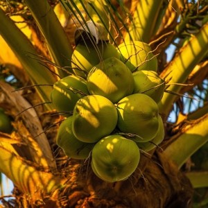 Caribbean Food: Coconut Tree