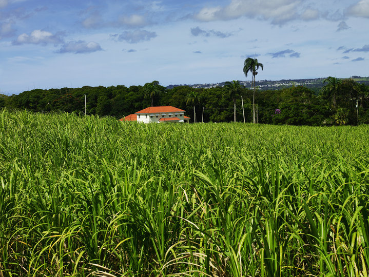 Mount Gay Rum Distillery: Sugar Cane Field