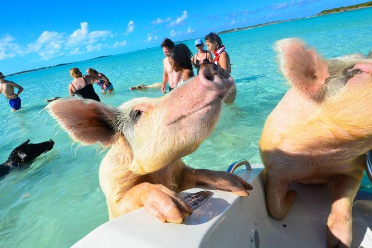 นักท่องเที่ยว หาดหมู ประเทศบาฮามาล