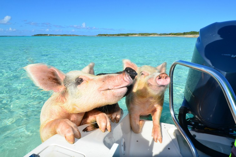 Bahamas Exuma Swimming Pigs