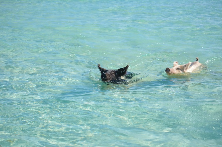 Bahamas: Exumas - Swimming Pigs