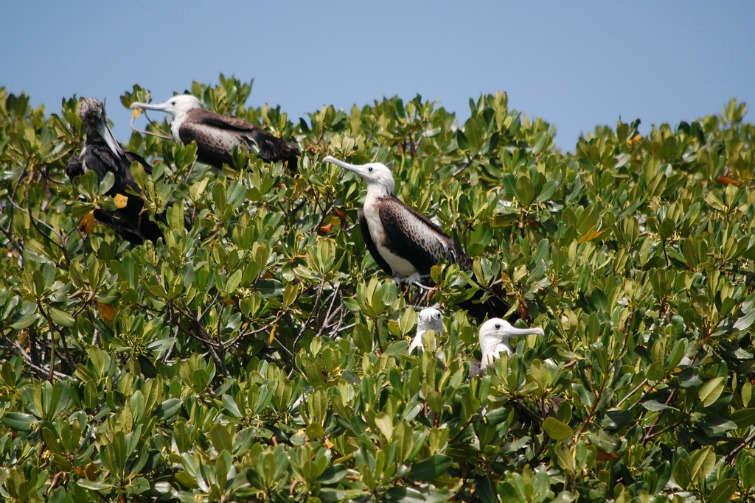 Dominican Republic: Eastern National Park - frigate bird