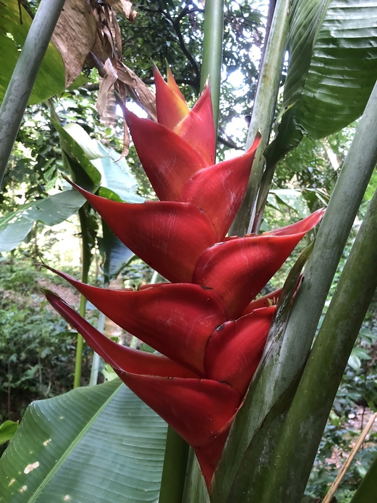 Montserrat: Red heliconia, the national flower of Montserrat. Photo Credit: © Ursula Petula Barzey.