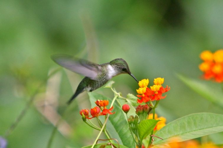 Blue and John Crow Mountains - Blackbilled streamertail Hummingbird