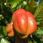Jamaica National Fruit: Ackee. Photo credit: ©Jerome Walker.