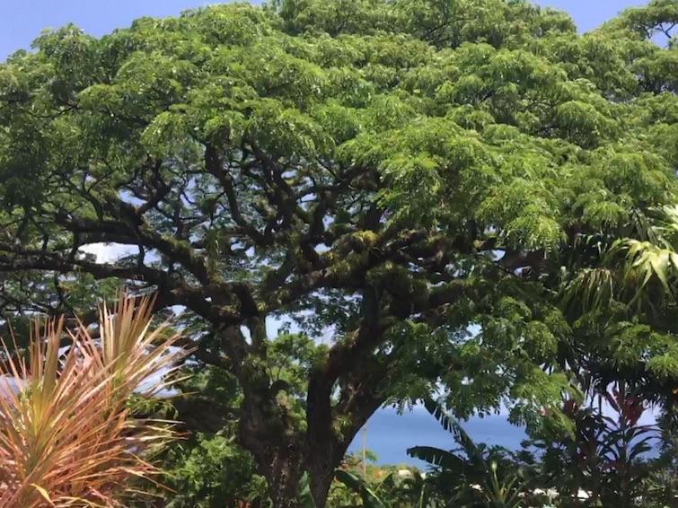 Romney Manor estate: Saman tree.