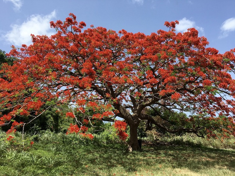 St Kitts: Royal Poinciana aka Flamboyant Tree.