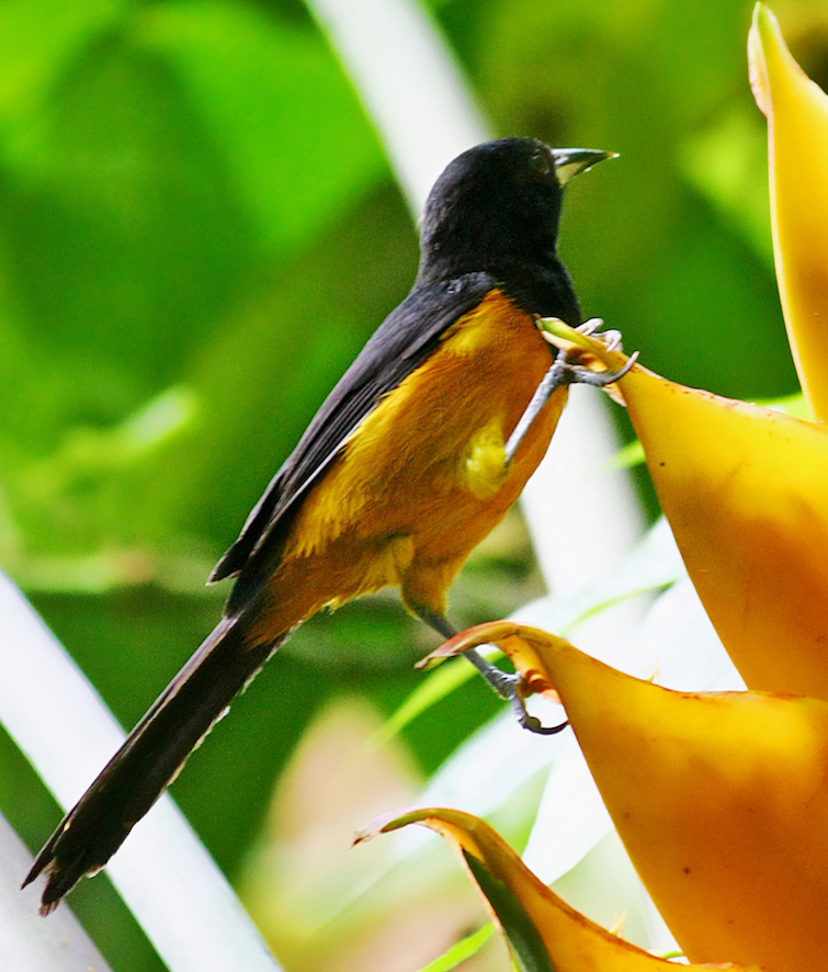 Montserrat: Oriole Bird once endangered. Photo Credit: © Montserrat Tourism Board.