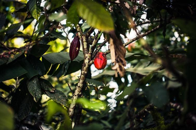 Trinatario cocoa trees with cocoa pods.