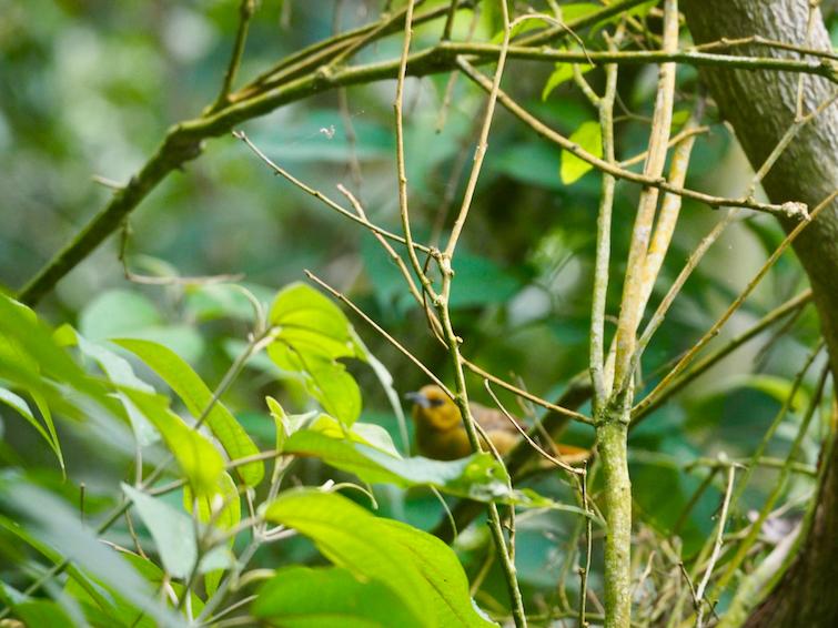 Hiking Montserrat: Montserrat national bird the Montserrat Oriole.