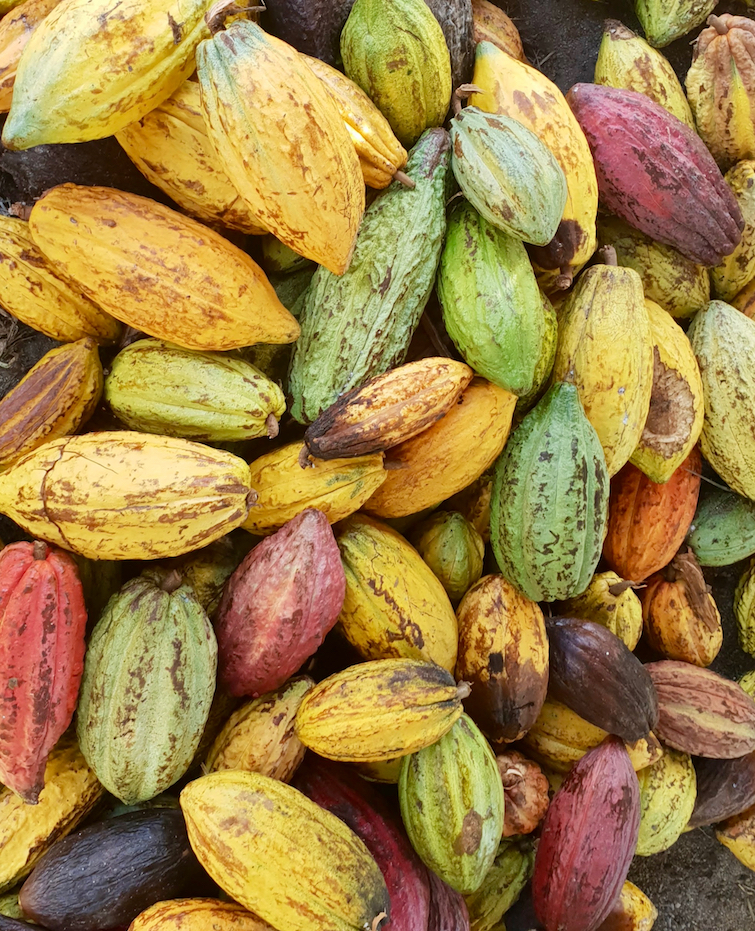 History of Chocolate: Cacao Pods at Esperance Estate in St Lucia.