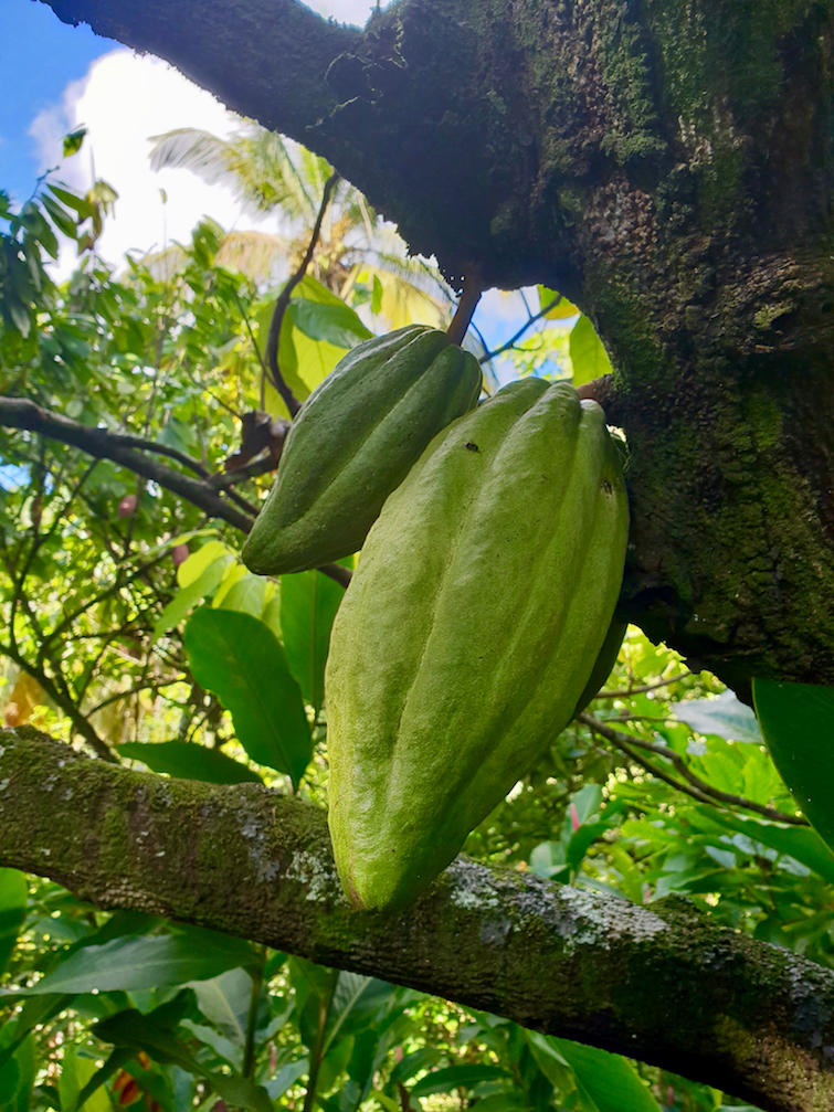 History of Chocolate: Cacao pods on tree Cacao Pods at Esperance Estate in St Lucia.