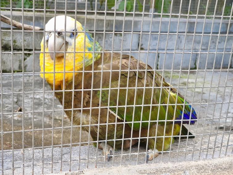 A St Vincent Parrot aka Amazona Guildingi at St Vincent Botanical Gardens in Kingstown.