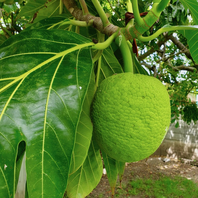 Breadfruit on a tree at Modern Green Farm in St Vincent.