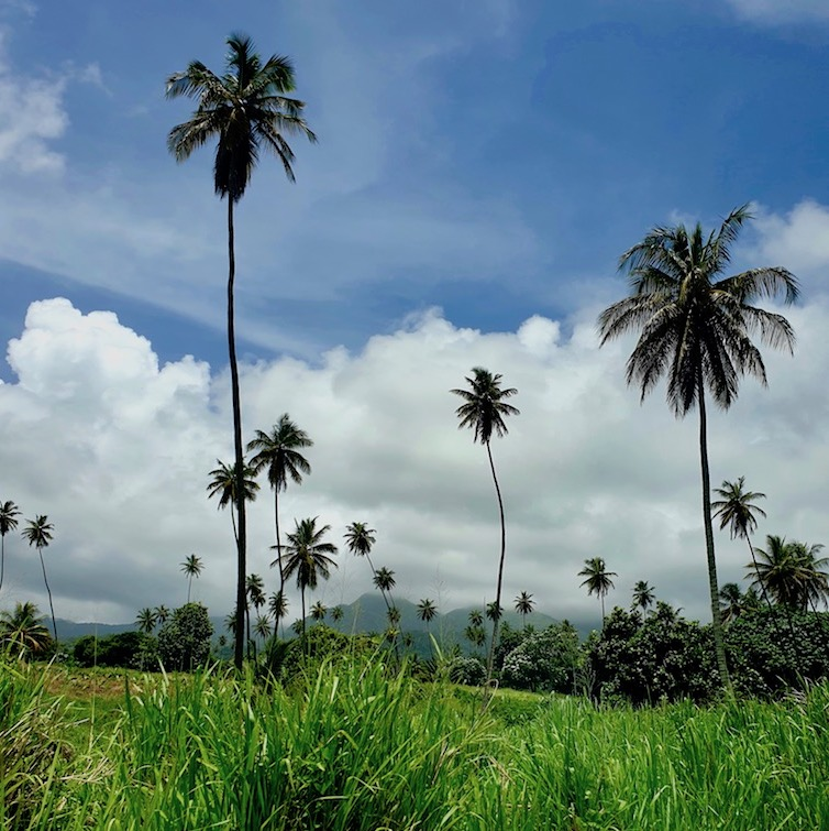 Coconut trees at view of La Soufriere volcano off in the distance from windward Highway in St Vincent.