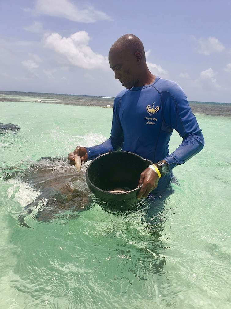 Feeding time at Stingray City Antigua.