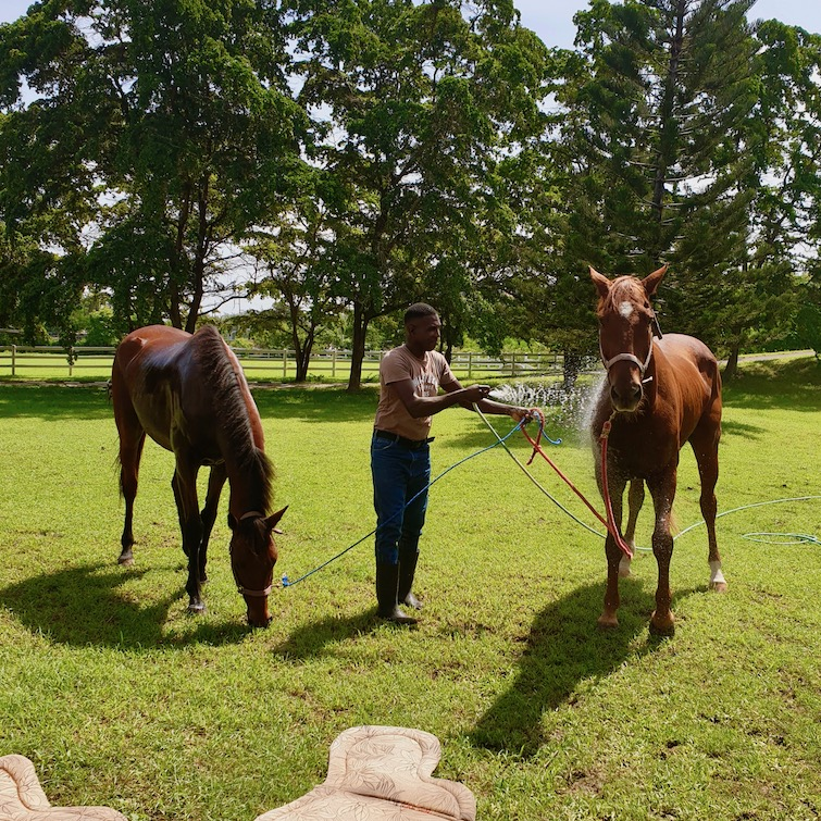 Horses at Half Moon Equestrian Center in Montego Bay, Jamaica.